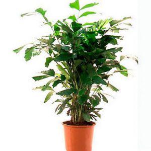 Фото видів кариота, домашній догляд за пальмою